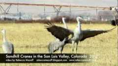 Sandhill Cranes in the San Luis Valley
